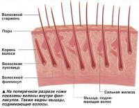 Волосы внутри фолликулов