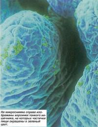 Ворсинки тонкого кишечника, на которых частички пищи окрашены в зеленый цвет