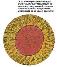 Вторичный ооцит окруженный клетками лучистого венца