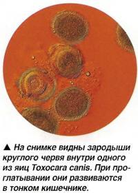 Зародыши круглого червя