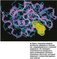 Здесь показана модель молекулы фермента лизоци-ма, содержащегося в слезной жидкости