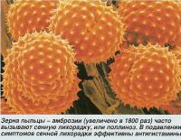Зерна пыльцы - амброзии (увеличено в 1800 раз)