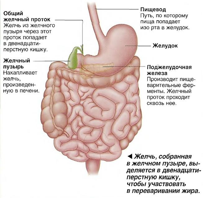 Желчь, собранная в желчном пузыре, выделяется в двенадцатиперстную кишку