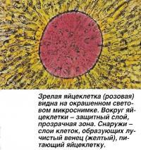 Зрелая яйцеклетка (розовая)